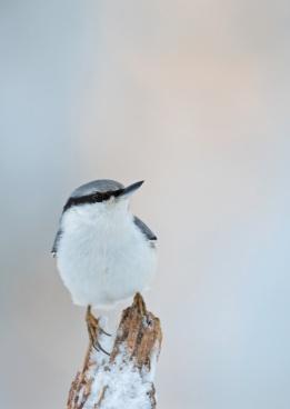 Nötväcka. Foto: Tomas Lundquist