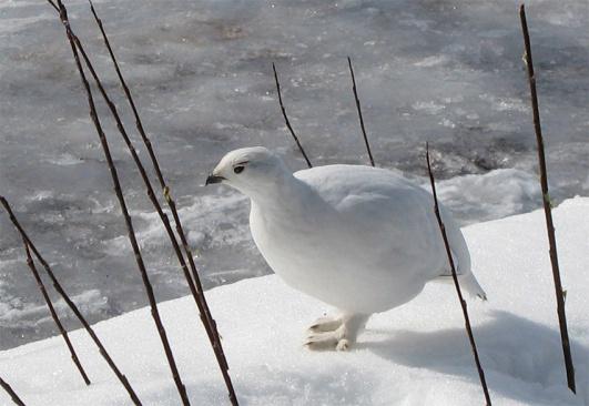 inte hotad fågelart