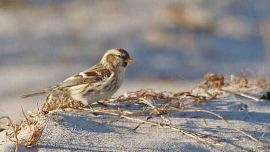 vinterfåglar i sverige