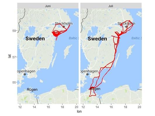 Bild 3. Skräntärnan Astrid gör under sommarmånaderna juni och juli flera längre flygningar över Sverige och ända ned till norra Tyskland innan hon flyger tillbaka till sjön Yngaren. Karta Natalie Isaksson