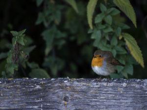 På bilden syns en rödhake som sitter på ett staket.
