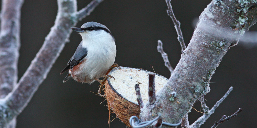 Vinterfåglar Inpå Knuten Dalarnas Ornitologiska Förening