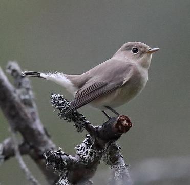 Mindre flugsnappare Skarpudden 10 september 2019. Foto: Björn Gustafsson.