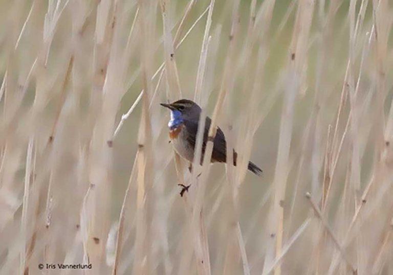vitstjärniga blåhake
